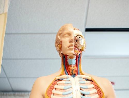 Anatomisch figuur geneeskunde