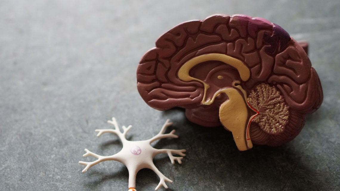 Hersenen anatomie model